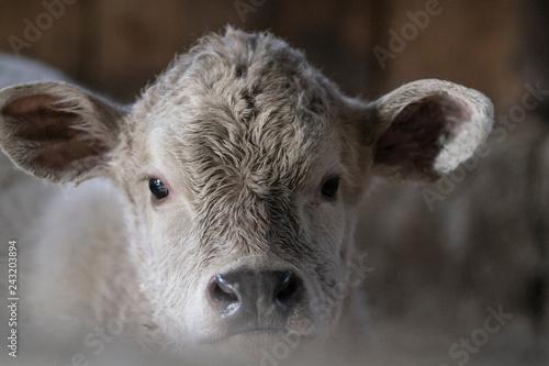 Fényképezés  Black Angus Charolais Mixed Calf Cow in Barn
