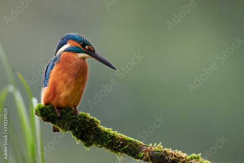 European Kingfisher (Alcedo atthis). Canvas Print