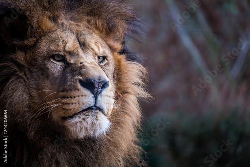 Naklejki lew  portrait-de-lion