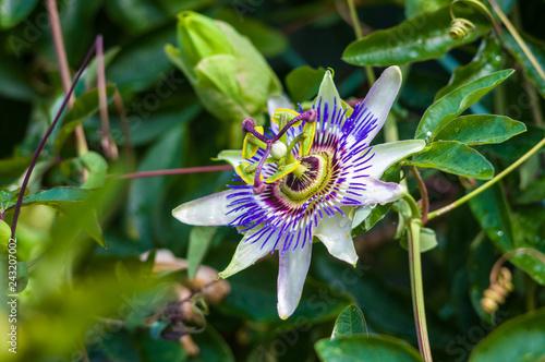 Fototapeta passion flower Passiflora caerulea Passionflower against green garden background obraz