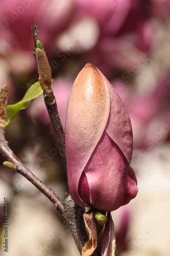 Spring Trees Blossom Magnolia Blossoms Magnolia Tree In