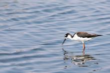 Black Necked Stilt Bird Standi...