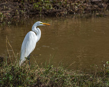 A Great Egret Standing By The Creek!