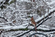 A Female Cardinal Portrait On Snow Covered Branches With Bokeh Effect.