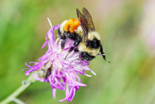 Tricolored Bumble Bee On Wildflower