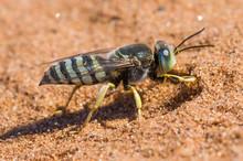 Digger Wasp Digging Sand