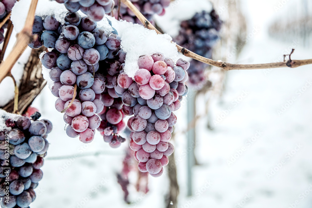 Fototapeta Ice wine. Wine red grapes for ice wine in winter condition and snow