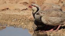 Chukar And Chicks In The Negev Desert