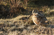 A Woodcock (Scolopax Rusticola...