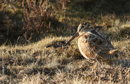 A Woodcock (Scolopax rusticola) sitting in the grass in the last of the days sunlight Canvas-taulu