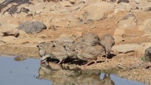 Chukar And Chicks In The Negev...
