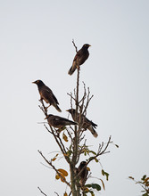 Group Of Mynah Birds Perched O...