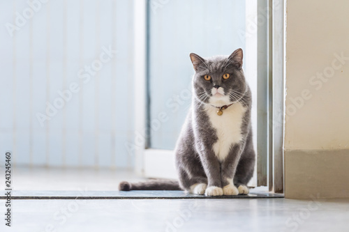 Photographie  Cute British short-haired cat, indoor shooting