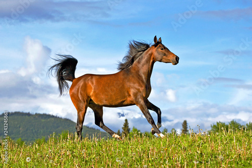 Beautiful Arabian Horse Mare running on  summer meadow, blue sky background.