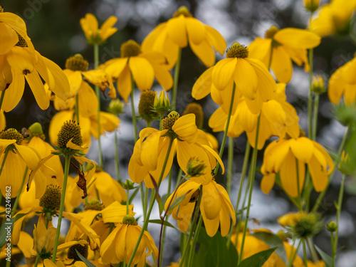Fotografie, Obraz Rudbeckia laciniata 'Herbstsonne' - Rudbeckies laciniées 'Soleil d'automne' au c