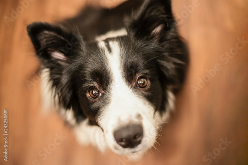 Fotografía  Sitting border collie dog on a parquet in the hause waiting for dainty and carresing