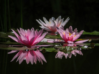 Panel Szklany Podświetlane Egzotyczne Three beautiful pink water lilies or lotus flowers Marliacea Rosea in the magic pond. Two nympheas reflected in the water. Frogs are sitting on leaves. Selective focus. There is a place for text.