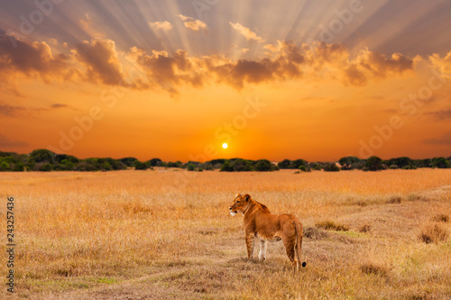 Aluminium Prints Salmon Lioness in the African savanna at sunset. Kenya