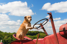 Dog On Vintage Red Tractor In Landscape