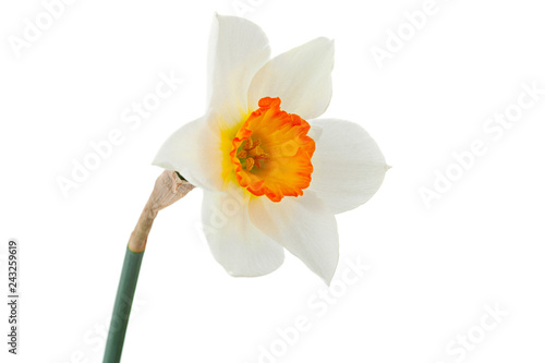 Fotobehang Narcis Narcissus spring flower on white