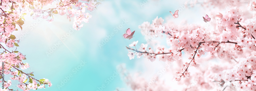 Fototapeta Spring banner, branches of blossoming cherry against background of blue sky and butterflies on nature outdoors. Pink sakura flowers, dreamy romantic image spring, landscape panorama, copy space.