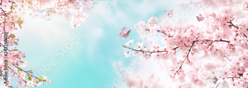 Poster White Spring banner, branches of blossoming cherry against background of blue sky and butterflies on nature outdoors. Pink sakura flowers, dreamy romantic image spring, landscape panorama, copy space.