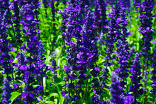 A Salvia Victoria Blue Flower With Purple Or Violet Color In Park With Macro Or Close Up - Photo