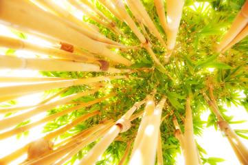 Fototapeta Bambus Yellow Bamboo plant against the sun light