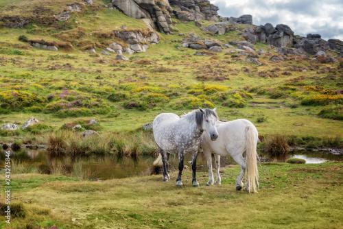 Tuinposter Europa Dartmoor Ponies near Saddle Tor, Dartmoor, Devon, UK