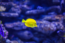 Funny Yellow Tropical Fishe In Blue Coral Reef Sea Water Aquarium.
