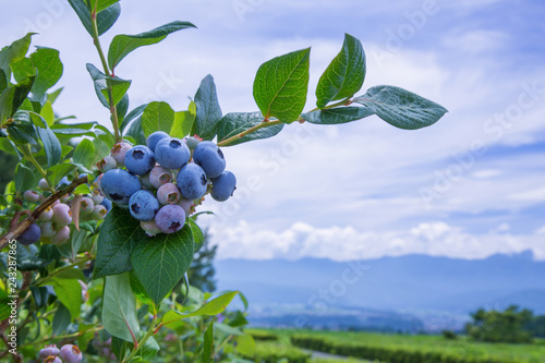 Fotografía Ripe blueberries with  blueberry plantation, blue sky and mountains in the background