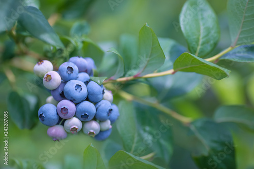 Ripe blueberries with  blueberry plantation in the background. Poster Mural XXL