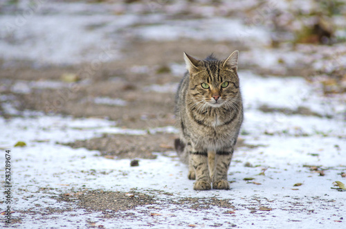 Photo  wild tabby cat on the snow