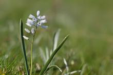 Hyacinthella Leucophaea Growin...