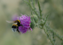 Flight Of The Bumblebee Over The Flower