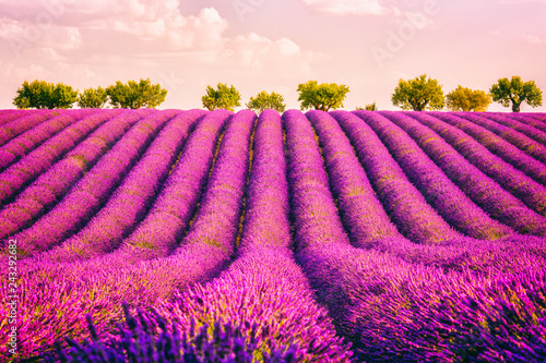 Lavender field, pink sunset over rows of blooming lavender, amazing nature landscape, Provence, Plateau de Valensole, France