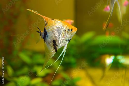Fotografie, Obraz  Fish aquarium close. Decorative Pisces swim under water.