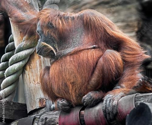 Photo Bornean orangutan female. Latin name - Pongo pygmaeus abelii