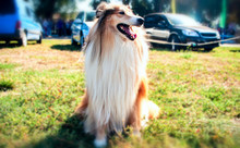 Collie Dog In The Park . Long Haired Rough Collie Standing On Green Field.