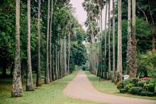 Palm Alley In Botanical Garden...