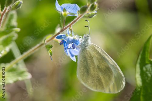 Fototapeta premium Piękny motyl zbiera nektar z niebieskiego kwiatu