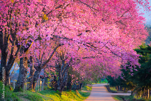 Foto op Canvas Candy roze Cherry blossom blooming