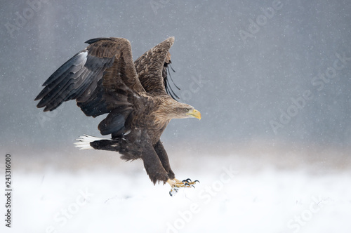 Photo sur Aluminium Aigle White tailed eagle (Haliaeetus albicilla)