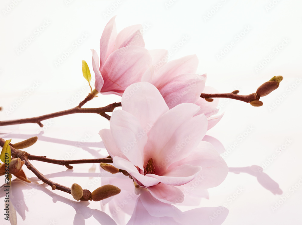 Fototapety, obrazy: Pink magnolia blossoms on a reflective surface