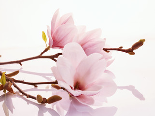 Pink magnolia blossoms on a...