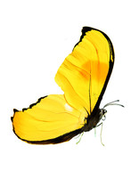 Beautiful Butterfly With Yellow Wings And Paws. Isolated On White Background