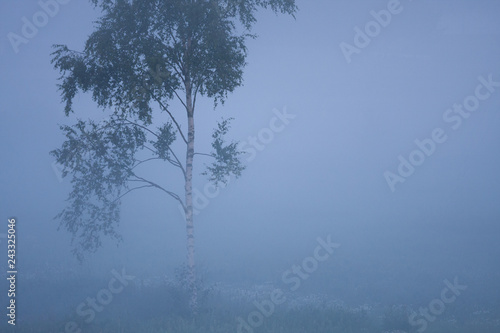 Small birch in thick fog at meadow at summer dawn