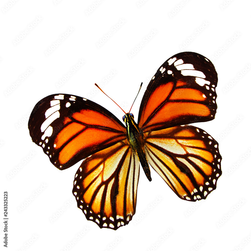 beautiful natural orange butterfly isolated on white background