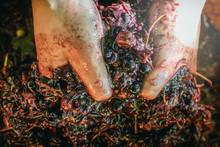 Crushed Grapes Wine Making