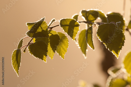 Birch leaves close-up on warm morning sunlight
